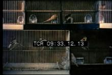12554_canary_doctor.mp4