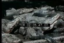 12565_alligator_farm.mp4