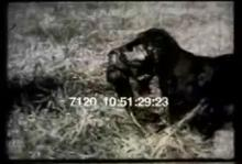 7120_hunting_dogs1.mp4