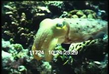 11724_cuttlefish2.mp4