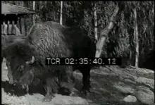 12559_buffalo_fur.mp4