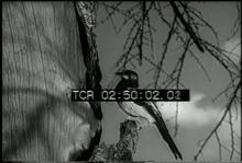 12559_hogs_duck_hunting.mp4