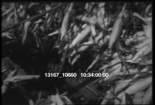 13167_10660_canning_the_corn_crop.mov