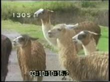 10900_llamas.mp4
