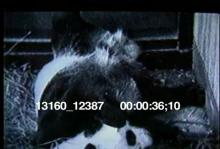 13160_12387_panda_birth1.mov