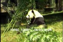 13160_12387_panda_birth6.mov