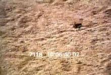 7118_lizard_eats_bug.mov