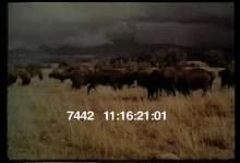 7442_buffalo.mov