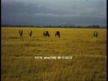 13176_sfma7180_african_safari7.mov