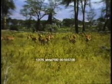 13176_sfma7180_african_safari6.mov