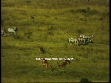 13176_sfma7180_african_safari9.mov