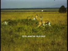 13176_sfma7180_african_safari10.mov